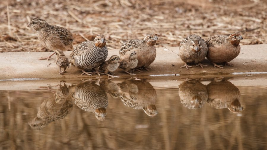 Some tips on vocal identification of Jungle and Rock Bush-Quails in Peninsular India