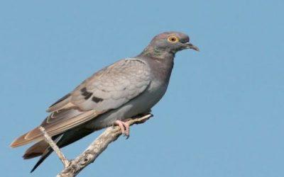 Yellow-eyed Pigeon