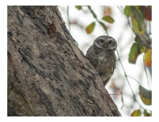 Spotted owlet 2